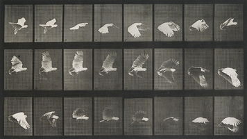 19 cie maygestinbirds muybridge 1 copyright DR